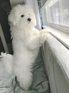 Popular for their trainability and pleased dispositions, the golden and Labrador retrievers are the choice pet for numerous American families. They are also popular as disability support pet dogs. Bichon Dog, Maltese Dogs, Havanese, Teacup Maltese, Maltipoo, Puppy Care, Pet Puppy, Coton De Tulear Dogs, Happy Puppy