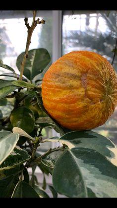 Greenhouse Pictures, Pumpkin, Vegetables, Pumpkins, Vegetable Recipes, Squash, Veggies