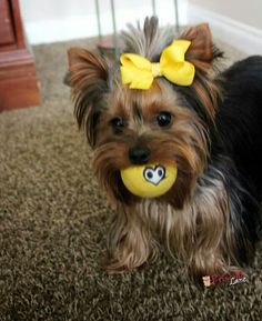 Owned by Yorkies -Having a ball !