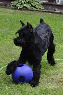 Giant Schnauzers In Motion Black Mini Schnauzer, Giant Schnauzer, Schnauzer Puppy, Miniature Schnauzer, Schnauzer Grooming, Schnauzers, Dog Yard, Fox Dog, Dogs And Puppies