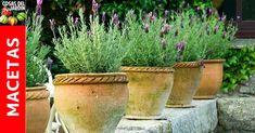 La lavanda es la hierba aromática favorita de muchos jardineros, y por una buena razón. Cuando está fresca, su color … Lavander, Dream Garden, Plants, Beautiful, Perfume, Gardening, Diy, Gardens, Charms