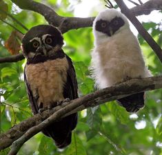 Spectacled Owl and Chick in the forests of Carara, Costa Rica- I*'ll be in Costa Rica for a day in October! Will be taking a tram forest canopy tour!