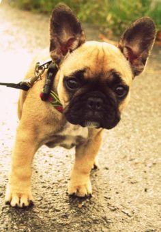 I want! frenchie pug mix...