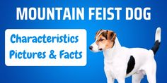 Read our Mountain Feist guide for an introduction to this lively, spirited little dog, including character, appearance and history. The post Mountain Feist Breed: Pictures, Characteristics and Facts appeared first on CanineWeekly.com.