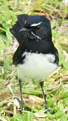 Willy Wagtail Animals Of The World, Animals And Pets, Baby Animals, Bird Gif, Bird Wings, Australian Birds, Animal Totems, Animal Pictures, Bird Paintings