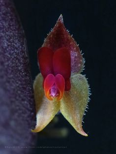 Lepanthes copalensis -inedit sp preview | Flickr: Intercambio de fotos by Daniel Wild life Costa Rica