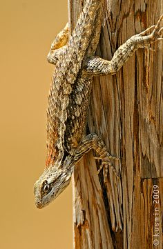 Texas spiny lizard (Sceloporus olivaceus) Reptile Rescue, Chameleon Lizard, Red Eared Slider, Camouflage, Reptiles And Amphibians, Tortoises, Bearded Dragon, Terrarium, Animals And Pets