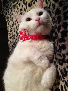 #gato #blanco #hermoso