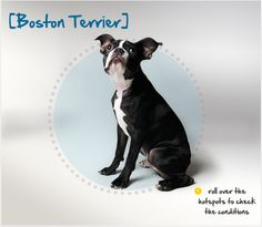 Did you know the Boston Terrier was developed in the stables of Boston as a fighting dog around the year 1870? Read more about this breed by visiting Petplan pet insurance's Condition Checker!