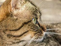 Gato, Tigre, Animal, Gato Doméstico