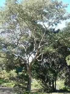 Olinia Ventosa (Hard Pear) Pear, Trees, Gardens, Plants, Tree Structure, Outdoor Gardens, Plant, Wood, Garden