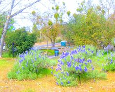 Knights Ferry day trip. Lupine in full bloom. my pic.