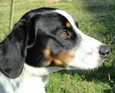 *** GREAT NEWS! *** I HAVE BEEN ADOPTED!!!  Stump is an adoptable Beagle Dog in Searcy, AR. Stump is a 2 year old neutered male Beagle/Basset Hound and Dachshund mix.  He is full of energy and seems attentive.