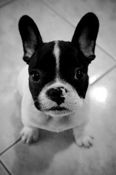 Look at these French Bulldogs.