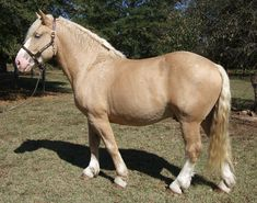 Joker's Golden Boy, an American Cream Draft stallion, is owned by Walker Farms. He is a lovely gold champagne color.