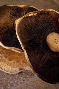 How To Grow Your Own Portobella Mushrooms thumbnail