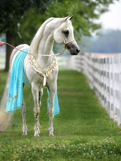 2013 Silver Supreme Champion Stallion, REA El Kaream. Bred and owned by David Myers. Dressed by Heirloom Arabian Halters. Photographed by Nancy Pierce at the Kentucky Horse Park, 2013.