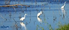 (5) Trio of Egrets: by Ronald Varley on Google+ -