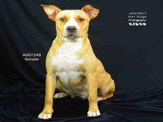 EU DATE MONDAY 10/17/16-This DOG - ID#A007246  I am a female, tan and white Staffordshire Bull Terrier mix.  The shelter staff think I am about 5 years old.  I have been in shelter care since Sep 14, 2016.  This information was refreshed 1 minutes ago and may not represent all of the animals at the Fort Bend County Animal Services Shelter.