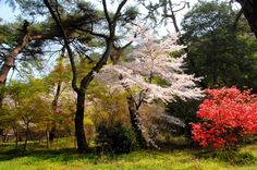 Springtime in Kotohiki Park adjacent to Kannonji (Temple 69) and Jinnein (Temple 68).