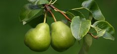 Pears make a fine tree with beautiful blossom for cheering up a dull lawn, trained against a wall or grown in containers... Dried Pears, Pear Cider, Images Of Colours, Planting Plan, Tree Images, Organic Fertilizer, Organic Matter, Fruit Garden, Green Backgrounds