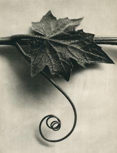 "<div class=""artist""><strong>Karl Blossfeldt</strong></div><div class=""title_and_year""><em>Bryonia alba (White bryony, with leaf) B</em></div><div class=""medium"">1st Edition photogravure</div><div class=""dimensions"">19 x 25.4 cm </div><div class=""price"">£300.00</div>"