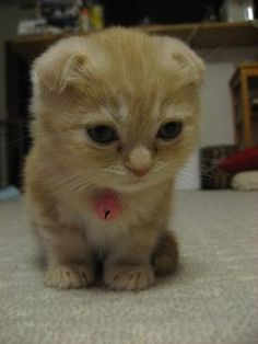 Our next cat (wayyy in the future when Nala and Axel are gone...) will be a munchkin scottish fold!