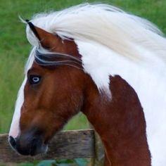 cavallo dagli occhi azzurri. Rarissimo e bellissimo.