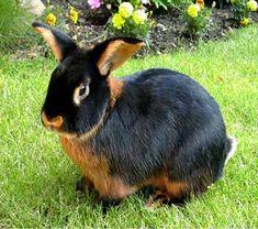 coelhos de verdade estimação raças - Pesquisa Google
