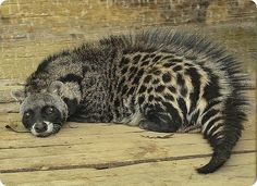 African Civet is a common viverrid native to tropical Africa. Unlike many other members of the family, which resemble cats, the African Civet resembles a short dog-like animal. Interesting Animals, Unusual Animals, Rare Animals, Animals And Pets, Ugly Animals, Beautiful Creatures, Animals Beautiful, Animals Amazing, Tier Fotos