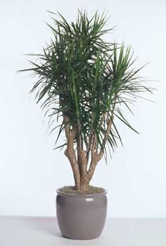 How To grow and care for Dracaena marginata a durable foliage plant used in homes, offices building, hotels, and malls but also as an everyday house plant. Water Plants Indoor, Indoor Plants Low Light, Outdoor Plants, Air Plants, Madagascar Dragon Tree, Air Cleaning Plants, Bathroom Plants, Interior Plants, Foliage Plants