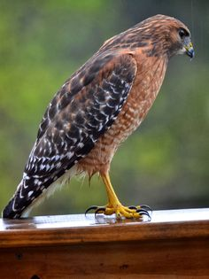 Red and the Peanut: Red-shouldered Hawk in the rain.
