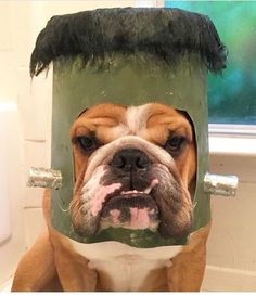 The major breeds of bulldogs are English bulldog, American bulldog, and French bulldog. The bulldog has a broad shoulder which matches with the head. Bulldog Halloween Costumes, Bulldog Costume, Pet Costumes, Halloween Fun, English Bulldog Funny, English Bulldog Puppies, English Bulldogs, French Bulldog, Funny Bulldog