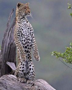 "funnywildlife: "" Check out this stunning shot of a Meerkat leopard scanning for potential prey in South Africa's Kruger NP by #wildographer Trevor Barnett. Follow @trevor.barnett for regular updates &..."