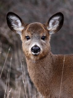 Photograph Cutie Patootie - White-tailed deer by Jim Cumming💙 Baby Animals, Funny Animals, Cute Animals, Zoo 2, Deer Family, Cute Creatures, Forest Animals, Science Nature, Animals Beautiful