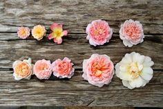 10 roses abricot: En haut : Treasure Trove - Ghislaine de Féligonde - The Alexandra Rose (8.5) - Emmanuel (8)- Wildeve (10) En bas : Sweet Juliet (6.5) - Leander (6.5) - Colette (7.5) - Abraham Darby (11) - Jacquenata (13)