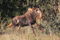 Ashford Lodge - Kings Wildebeest