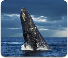 Google Image Result for http://www.whales.org.za/images/contents/humpback-whale-2.jpg
