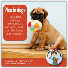 Have a dog known to swallow socks, rocks and other objects? The ingestion of non-food items, such as rocks, dirt or fabric, is called pica disorder in dogs.