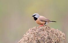 Black-throated Finch | BirdLife Australia-http://www.birdlife.org.au/bird-profile/black-throated-finch