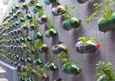Crecimiento de plantas en botellas plásticas de refresco. Excelente para reciclar