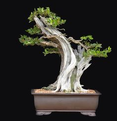 mangle boton bonsai - Buscar con Google