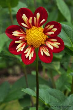 "~~Wheels Dahlia | Collarette with eye popping! 4"" vivid fire red blooms with a collar of bright yellow. This is a perfectly formed Collarette that grows to a sturdy 4 ft 