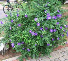 Trepadeiras. Tumbérgia azul (Thunbergia grandiflora).