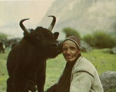 from natural history magazine - august/september 1975 herdsman with cow and calf; lang-tang valley, nepal. by amos s. eno