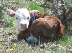 I love Herefords. They are so darn cute.