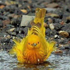 yellow warbler in bath
