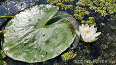 Photo about Clear and sunny atmosphere and a water lily along with a fragment of the leaf. Image of water, fragment, danube - 49060277 Danube Delta, Nature Images, Lily, Leaves, Stock Photos, Water, Photography, Gripe Water, Photograph