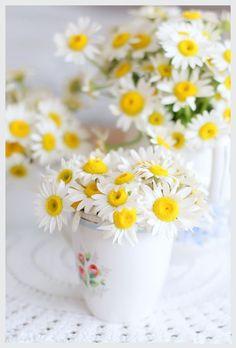 Antigamente, a margarida era considerada a flor das donzelas, e ainda hoje simboliza a juventude, virgindade, o amor inocente e a sensibilidade.