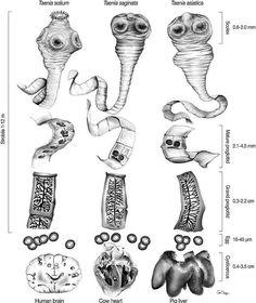 Protozoa, Intestinal flagellates, Phylum Sarcomastigophora